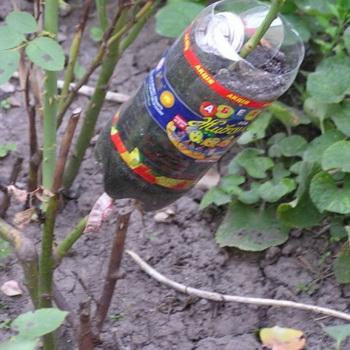 как привить розу к шиповнику пошаговая инструкция с фото - фото 9