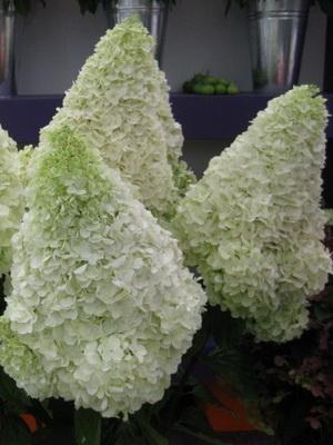 гортензия метельчатая садовая фото