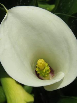 Каллы фото цветов