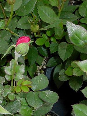 Роза с