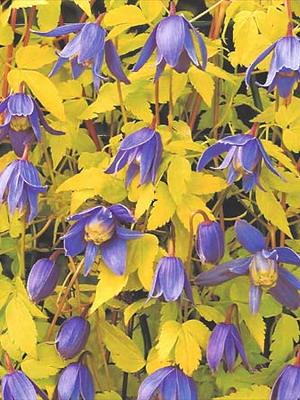 Цветы клематисы