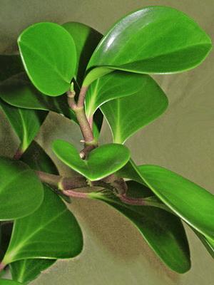 Все домашние цветы с крупными зелеными листьями фото