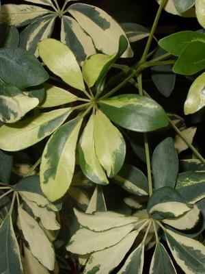 Цветок с разноцветными листьями фото