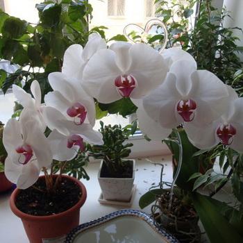 Показать цветок алиссум 45