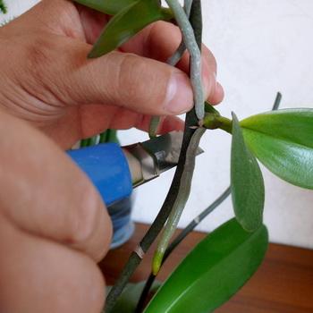 Фото ухода за орхидеями в домашних условиях
