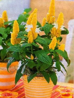 Комнатное растение с желтыми цветами