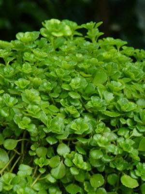 Комнатный ампельный цветок с названием 95