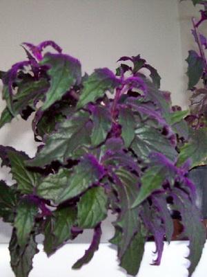 Цветок с фиолетовыми листьями