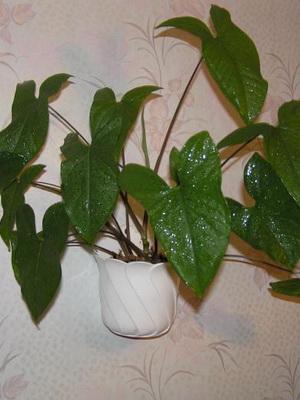 Виды и сорта колокольчиков: фото цветов, выращивание и