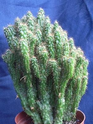 кактус микс с сухоцветом уход