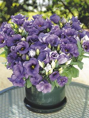 Комнатные цветы фиолетовые
