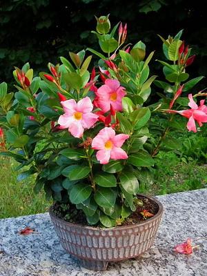 Комнатные цветы с длинными листьями и розовыми цветками фото