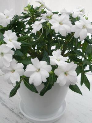 Комнатные растения с белыми цветами, фото домашних цветков