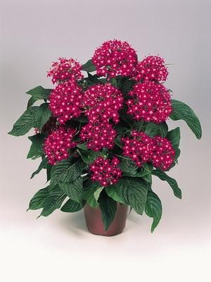 Название домашних цветов с красными листьями фото