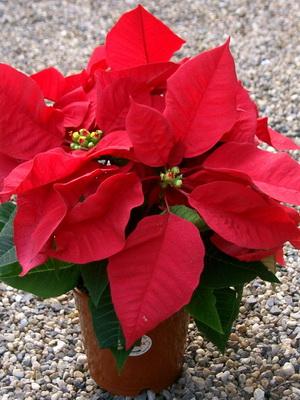 Красные цветы сорта фото