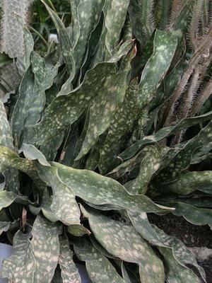 Цветок сансевиерия