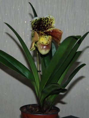 Фото орхидея китайская