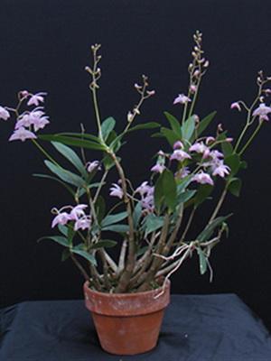 Синие орхидея уход в домашних условиях