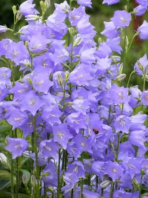 Цветы колокольчик