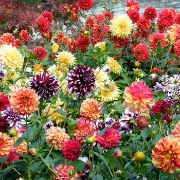 Цветы георгины фото