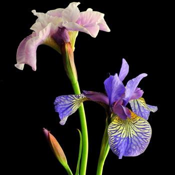 Цветы ирисы (89 фото виды и их особенности)