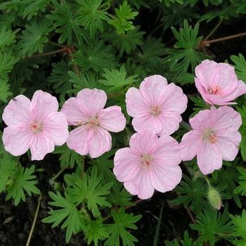 Герань садовая фото цветов