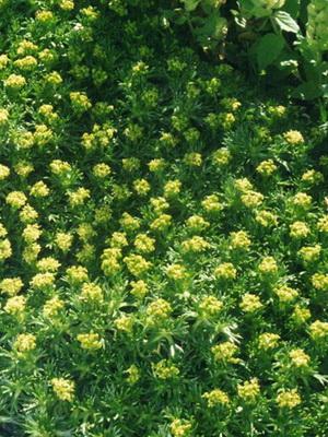 Ползучие цветы и травы фото и названия