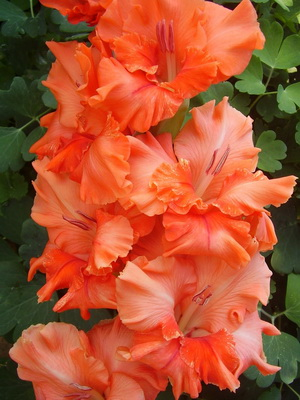 Цветы гладиолусы: посадка и уход, фото гладиолусов