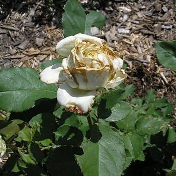 болезни роз с фото и их лечение