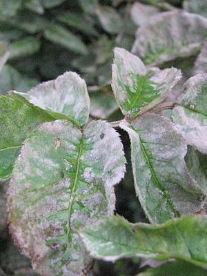болезни комнатные растения с фото лечить