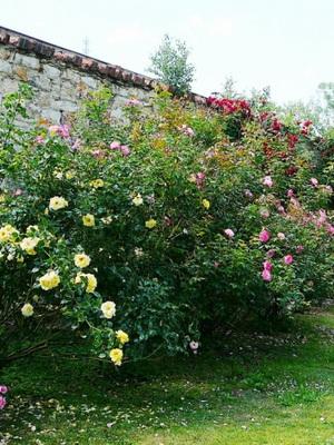 Сочетание роз в розарии по цвету