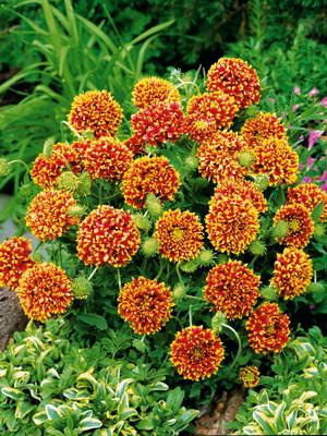 Гайлардия многолетняя фото цветов