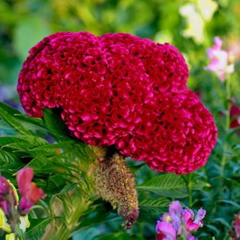 Цветок целозия гребенчатая -посадка и уход 94