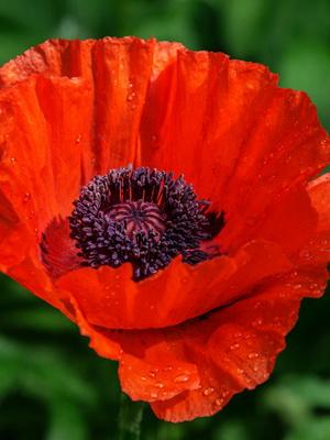 Мак цветок картинка