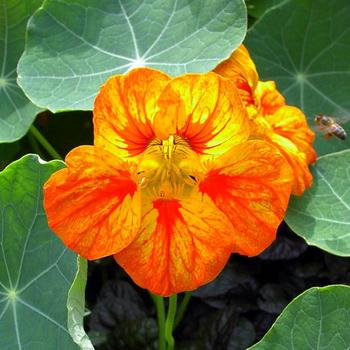 Цветы настурция