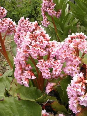 цветы фото бадан