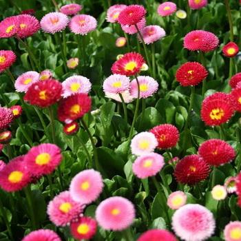 Маргаритка цветок фото