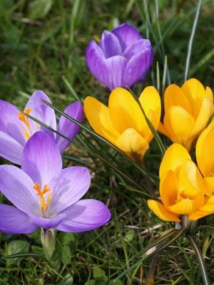 Весенний цветок крокус фото