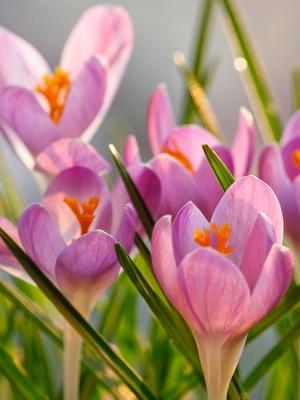 Крокусы цветы фото