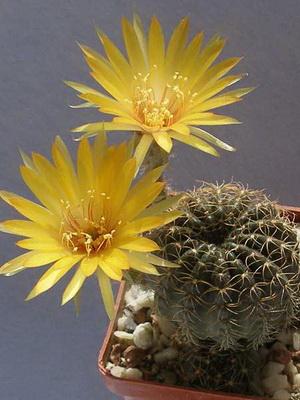 Уход за кактусами в домашних условиях 1