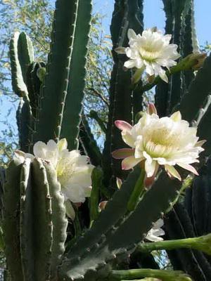 Если у дома цветок кактуса