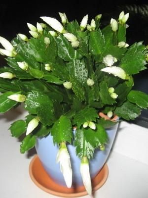 Комнатный цветок декабрист.