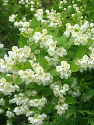 Сорта жасминов садовых фото