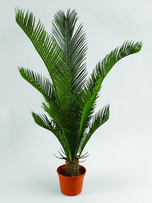 Уход за пальмой цикаса