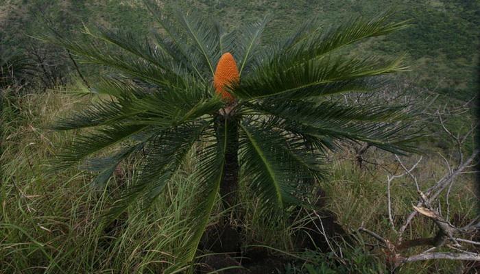 Цветок цикас