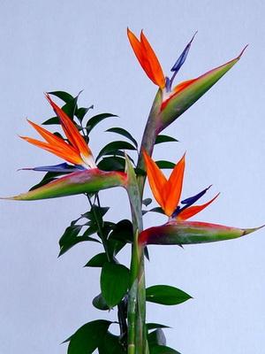 Цветок райская птица