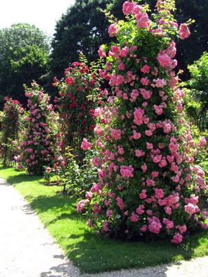 Выращивание плетистых роз в открытом грунте