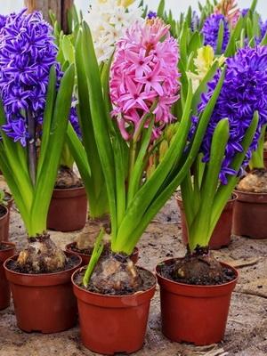 Цветы из луковицы названия фото