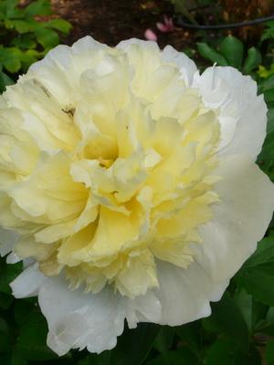 hvide have blomster navne