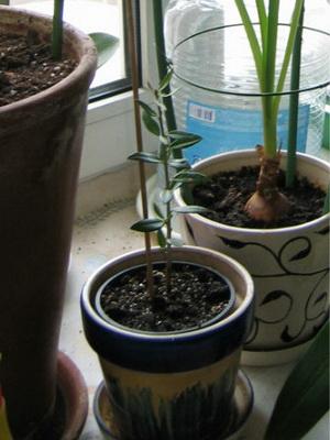 Выращивание оливкового дерева из веточки 13
